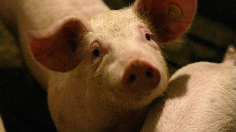 a pig looking at camera